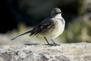 Cape Wagtail (Motacilla capensis) ©WikiC