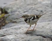 Forest Wagtail (Dendronanthus indicus) ©WikiC