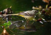Grey Wagtail (Motacilla cinerea) ©WikiC