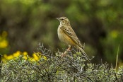 Mountain Pipit (Anthus hoeschi) ©WikiC