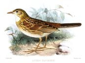 Ochre-breasted Pipit (Anthus nattereri) ©Drawing WikiC