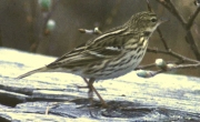 Pechora Pipit (Anthus gustavi) by WikiC