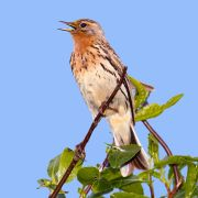 Red-throated Pipit (Anthus cervinus) ©WikiC