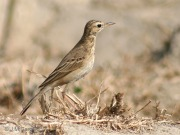 Richard's Pipit (Anthus richardi) ©WikiC