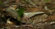 Sokoke Pipit (Anthus sokokensis) ©WikiC
