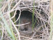 Sprague's Pipit (Anthus spragueii) Nest with young ©WikiC nest_with_young