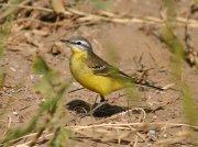 Western Yellow Wagtail (Motacilla flava beema) ©WikiC