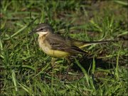 Western Yellow Wagtail (Motacilla flava) Female by Ian