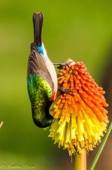 Lesser Double-collared Sunbird enjoying a Kniphofia flower ©©Rambling Ocean-Boeta.