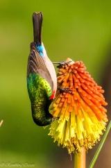 Lesser Double-collared Sunbird enjoying a Kniphofia flower ©©Rambling Ocean-Boeta.
