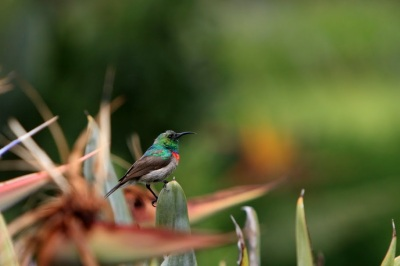 Southern Double-collared Sunbird (Cinnyris chalybeus) ©©Redwood