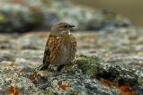 Altai Accentor (Prunella himalayana) ©WikiC