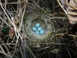 Dunnock (Prunella modularis) Nest and Eggs ©WikiC