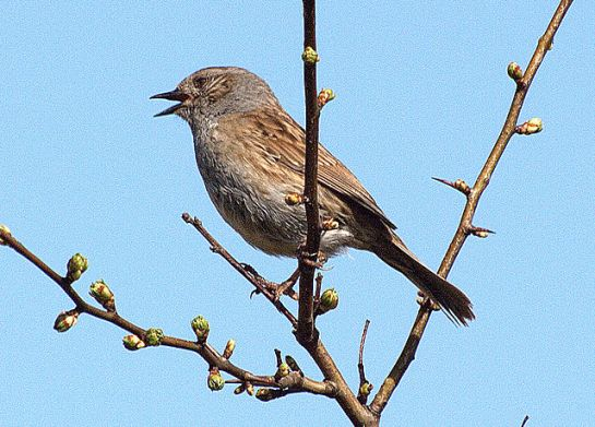 Dunnock (Prunella modularis) Singing ©WikiC
