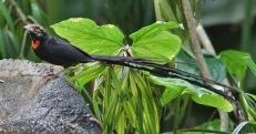 Long-tailed Paradise Whydah (Vidua paradisaea) ©WikiC