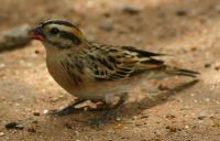 Pin-tailed Whydah (Vidua macroura) Female ©WikiC