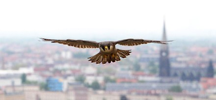 Peregrine Falcoln ©Images Inc