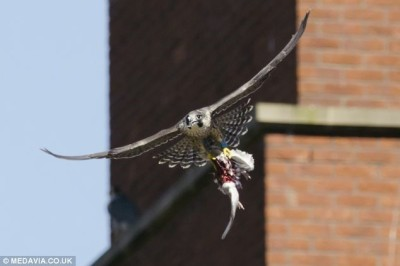 Peregrine Falcon (with doomed Pigeon in the falcon's talons) ©DailyMail