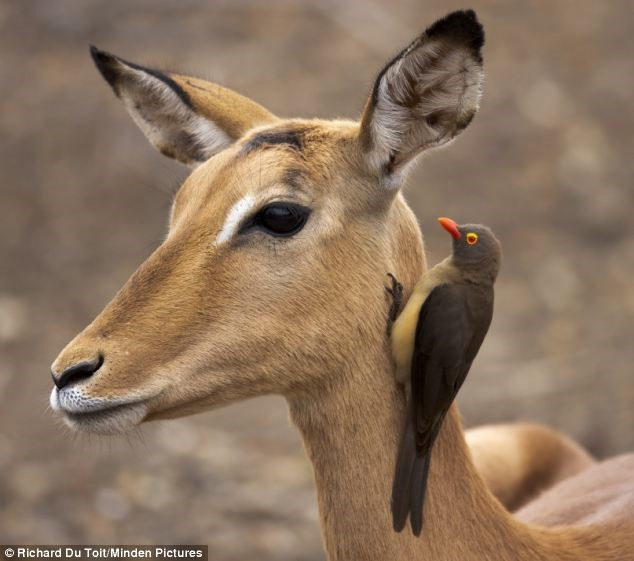zebra and red billed oxpecker relationship