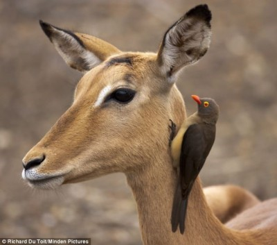 "Red-billed Oxpecker on equid ""neighbor"" (zebra) ""can you hear me now"""