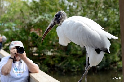 Wood Stork at Gatorland Walking Toward Me by Dan