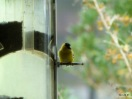 Goldfinches at feeders by Lee thru screen