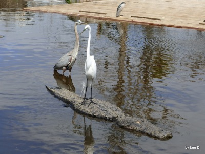 Great Egret on Alligator at Gatorland 3-8-16 by Lee