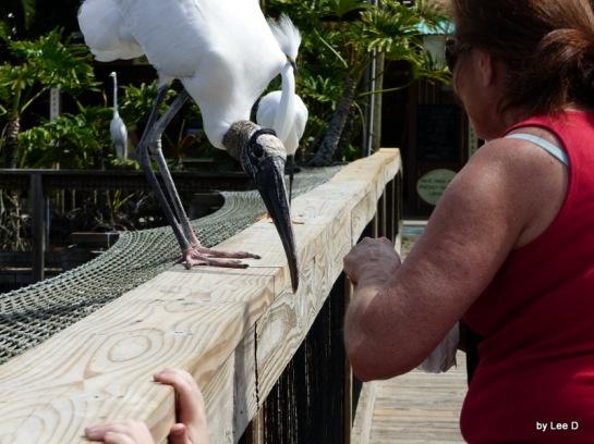 Wood Stork with lady at Gatorland9