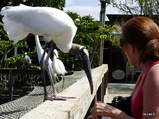 Wood Stork with lady at Gatorland