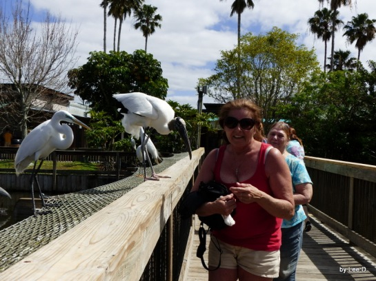 Wood Stork with a lady at Gatorland