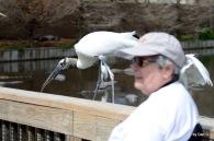 Wood Stork at Gatorland Walking Past Me