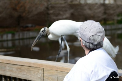 Wood Stork at Gatorland Walking Past Me