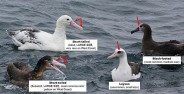 Albatross Study from Ian Montgomery