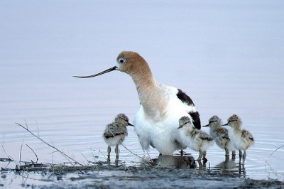 American Avocet - Family group visiting lentic shore