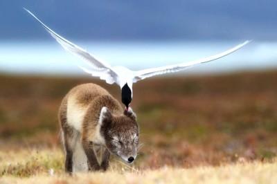 Artic Fox and Artic Tern b©Arkive