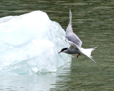 Artic Tern near Iceberg