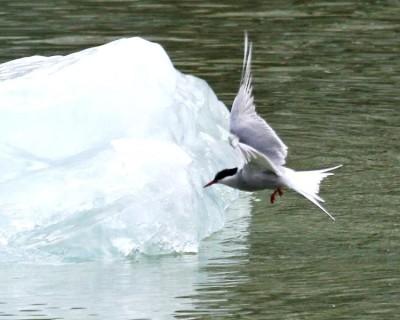 Artic Tern near Iceberg