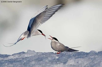 Artic Terns 1
