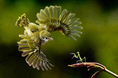 Bird ready to attack praying mantis from email