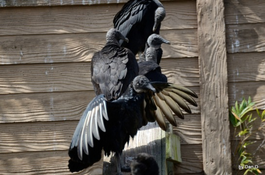 Black Vulture at Gatorland by Dan