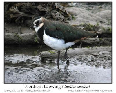 Northern Lapwing (Vanellus vanellus) by Ian