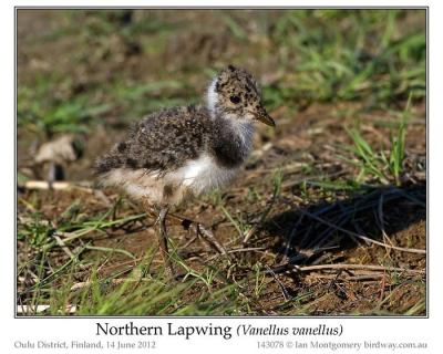 Northern Lapwing (Vanellus vanellus) Chick by Ian