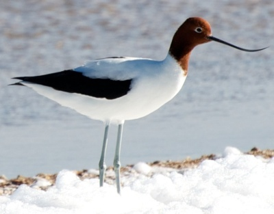 Red-necked Avocets ©WikiC