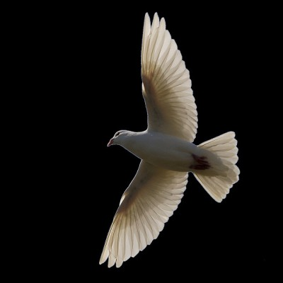 Dove Flying ©Flickr Ian Burt