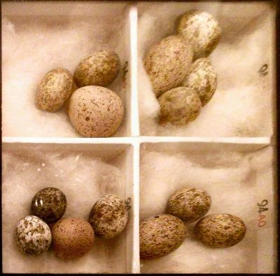 Reed Warbler eggs with Cuckoo Egg in them ©WikiC