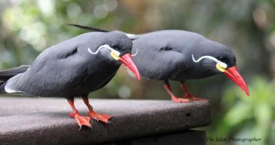 Inca Terns ©Idiotphotographer.WordPress