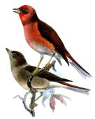Blanford's Rosefinch (Agraphospiza rubescens) ©Drawing WikiC