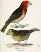 Bonin Grosbeak (Carpodacus ferreorostris) ©Drawing WikiC