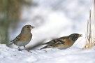 Brambling (Fringilla montifringilla) Male and Female ©WikiC