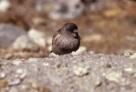 Brandt's Mountain Finch (Leucosticte brandti) ©WikiC